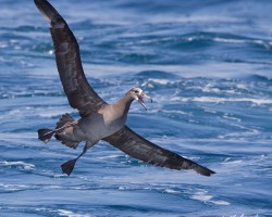Spending the time offshore can offer sightings of black-footed albatross.