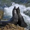 Guadalupe fur seals @ Chris Shields
