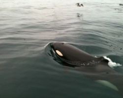 orca no fin
