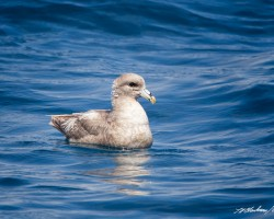 Northern Fulmar©Tom Blackman
