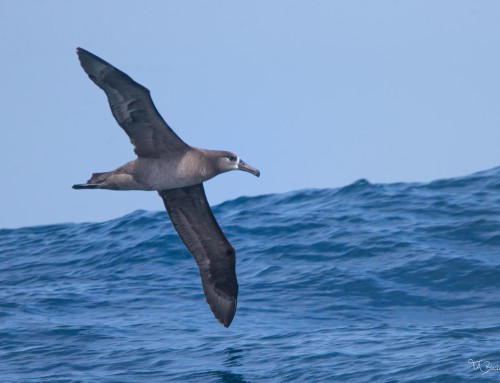 Pelagic Birding Trip Sightings List, 2015