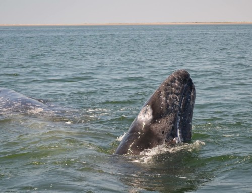 Welcome back, gray whales!