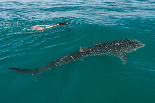 NEW in 2016 – Whale Shark Encounters!