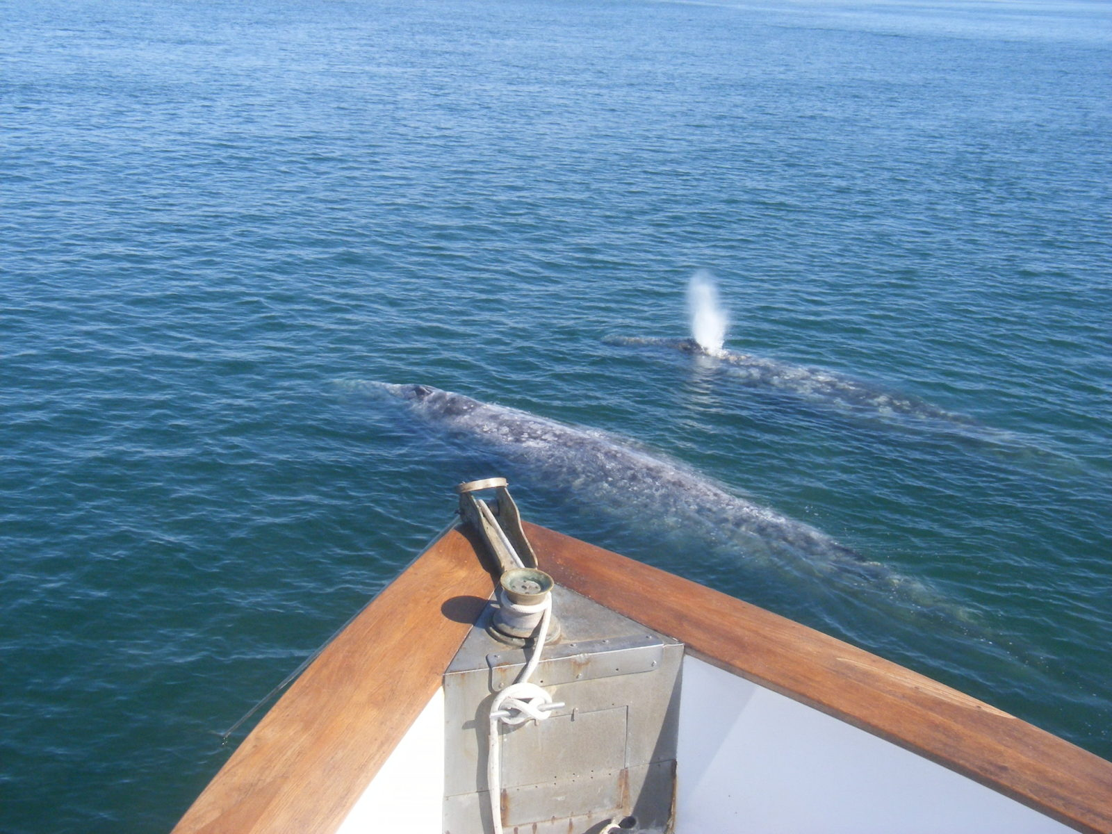 Counts of northbound gray whale cow/calf pairs are high!