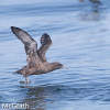 Sooty shearwater @ McGrath