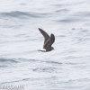 Townsends storm-petrel @ McGrath