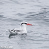 Red-billed tropicbird  @ McGrath
