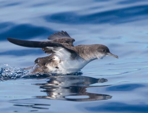2020 Pelagic Birding Tour Sep 7-11