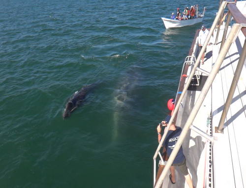 VIDEO: Gray Whale Family Reunion