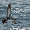 Pink-footed shearwater @ McGrath