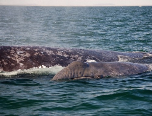 Here come the gray whales!