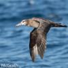 Black-footed albatross @ McGrath