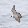 Long-tailed jaeger @ McGrath