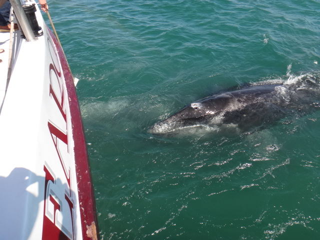 Curious Gray Whales in Laguna San Ignacio