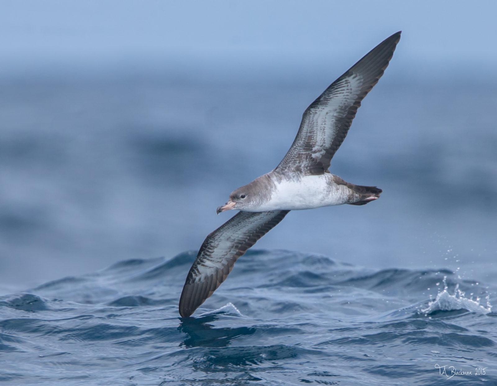 2017 Pelagic Birding Sightings List just published!