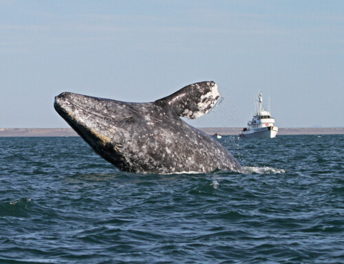 Gray Whale Research updates from Baja Lagoon