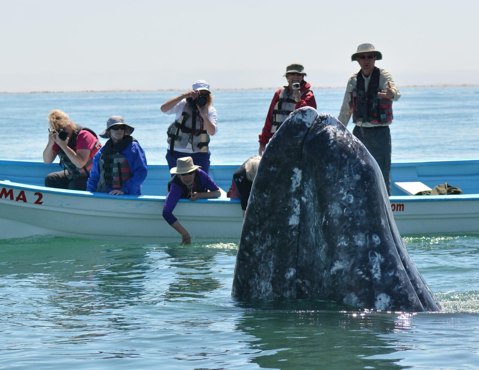Baja Whalewatching season is right around the corner!