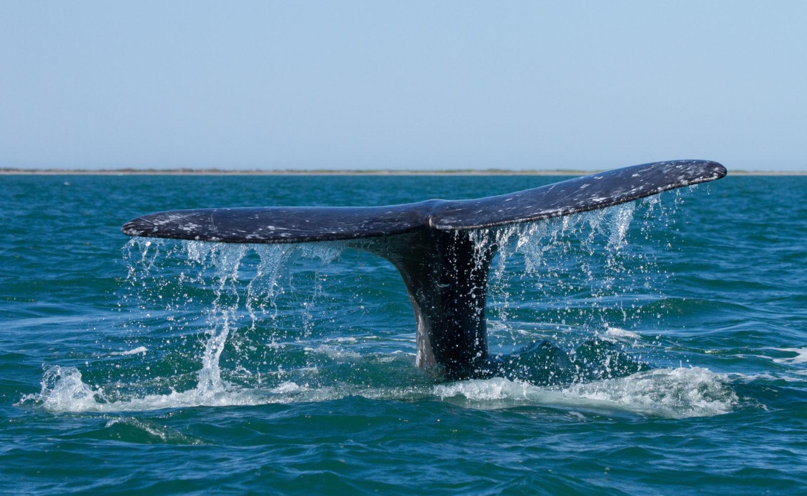 'Tis the season…for gray whales!