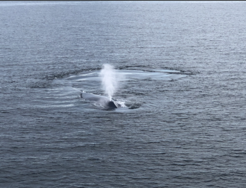 """Paper just Published about """"Flue,"""" the blue/fin whale!"""